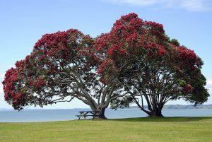 Pohutakawa tree in New Zealand
